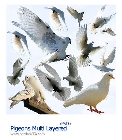 تصاویر لایه باز کبوتر ها - Pigeons Multi Layered