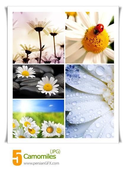 مجموعه تصاویر بسیار زیبا از گل های بابونه - Camomiles flower