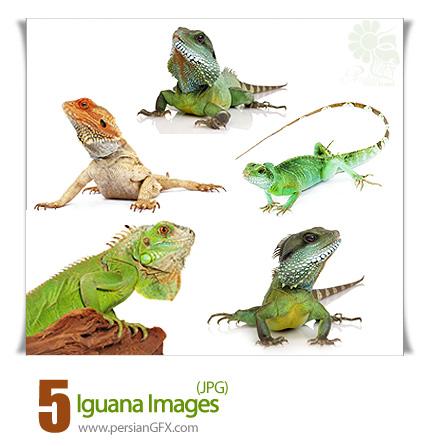 تصاویر جالب از ایگوانا - Iguana Images