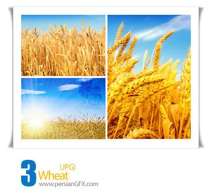 دانلود تصاویری از مزرعه گندم شماره دو - Wheat 02