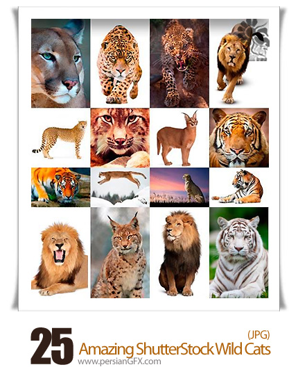 دانلود تصاویر با کیفیت گربه های وحشی، شیر، ببر از شاتر استوک - Amazing ShutterStock Wild Cats
