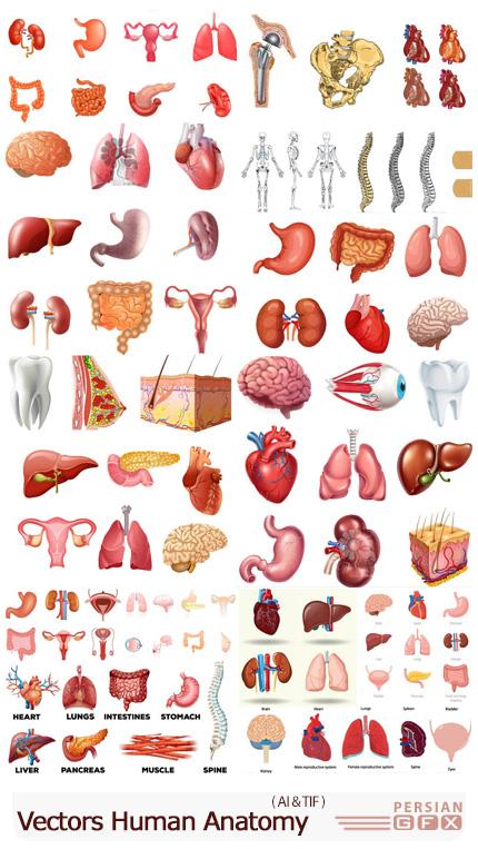 دانلود وکتور آناتومی بدن انسان شامل مغز، چشم، کبد، کلیه و ... - Vectors Human Anatomy