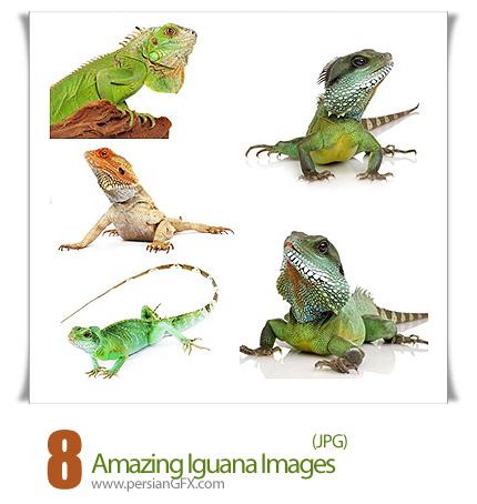 دانلود تصاویر شگفت نگیز ایگوانا - Amazing Iguana Images